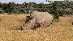 Rhino Bachelor Takes to Tinder